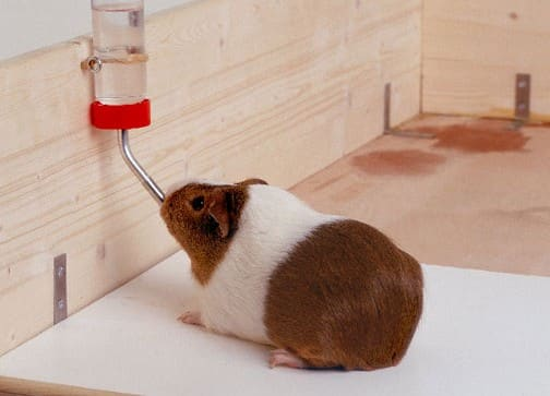 make your guinea pig happy with one of the best guinea pig water bottle