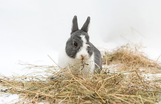 it is very important to chose right hay for your pet rabbit