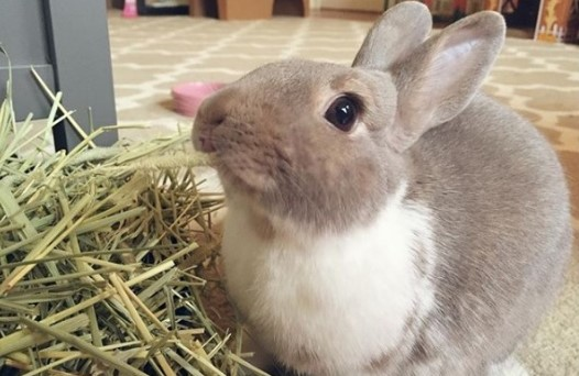 eating hay can help bunny's dental health