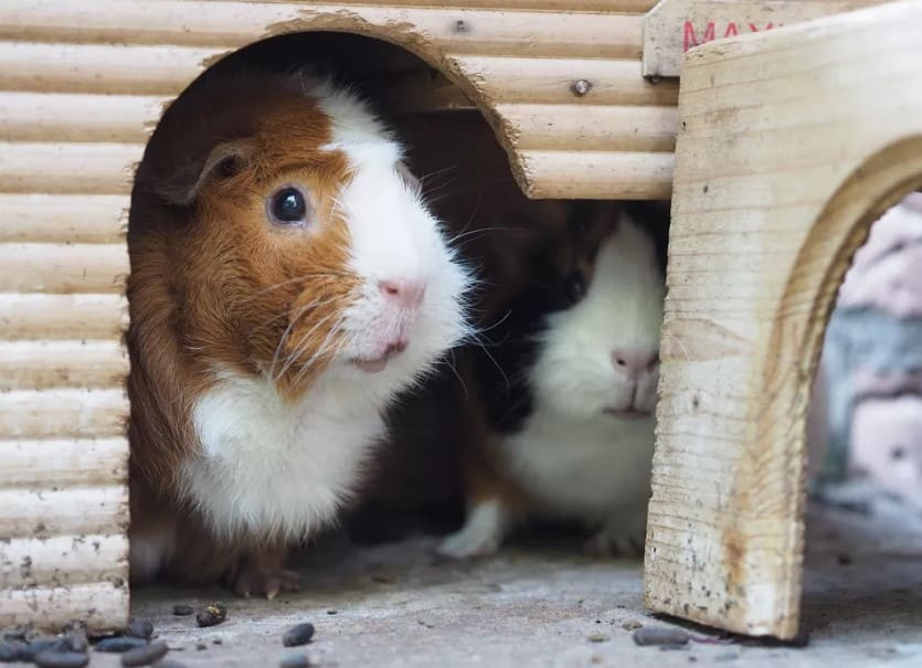 here are our reviews of best guinea pig food