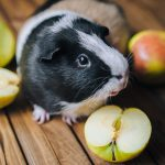 check out some best guinea pig food for your pet