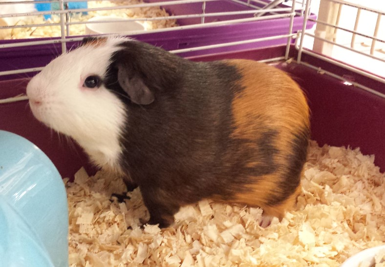 chose carefully which is the best bedding for your guinea pig pet