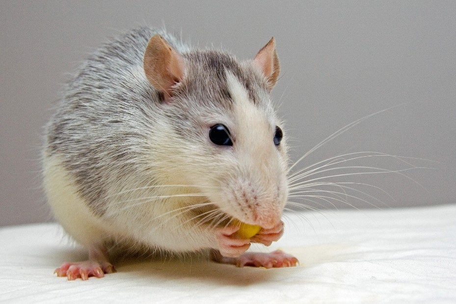 check the best rat food for your pet