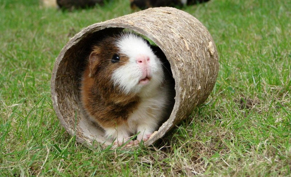 check the best guinea pig playpen for your pet