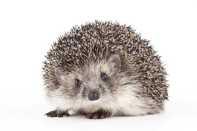 this steps will help you to provide best care to your hedgehog pet