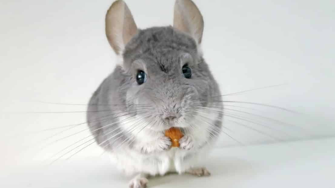 find out how it is to have chinchilla as a pet