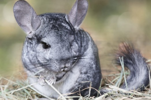with proper care chinchillas can live 12 to 20 years