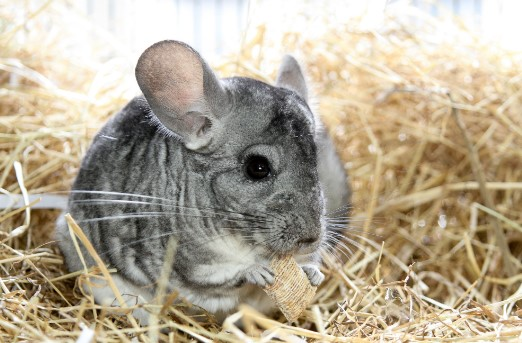 chinchillas are exclusively herbivorous animals