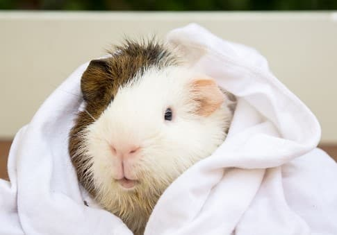 get the right shampoo suitable for your guinea pig