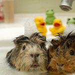 guide about how to bathe a guinea pig