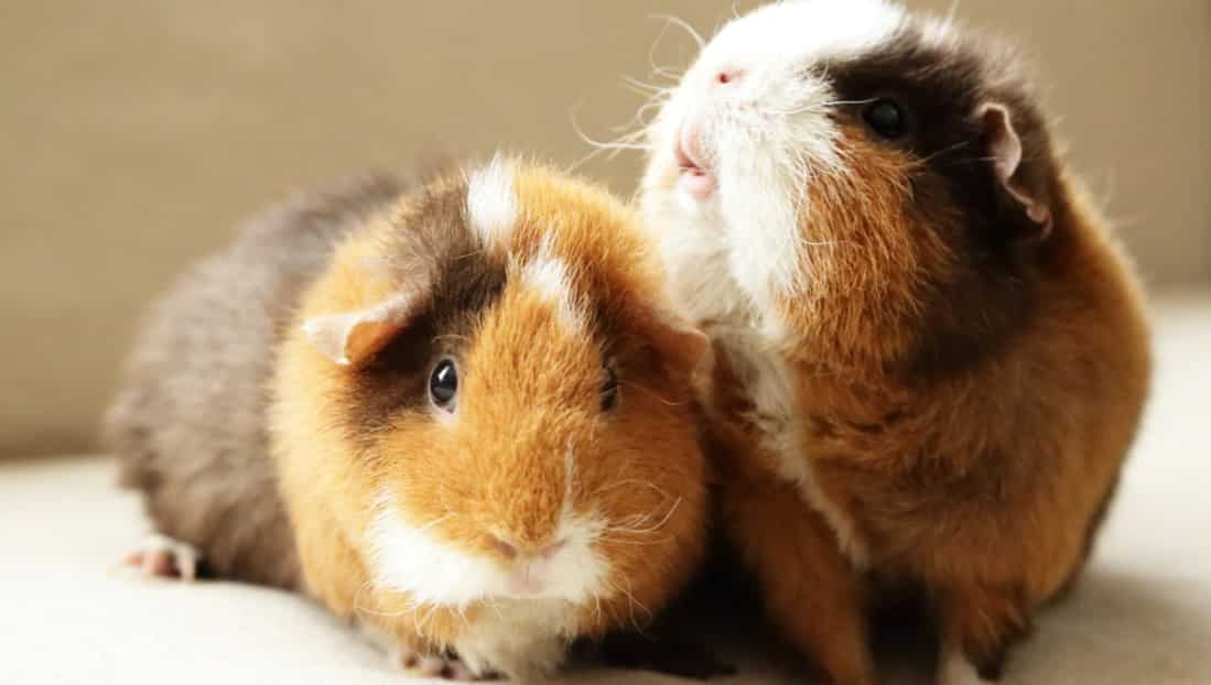 find which pet suits you better - guinea pig vs hamster