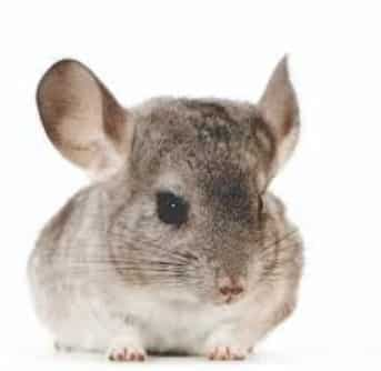 chinchillas are small rodents