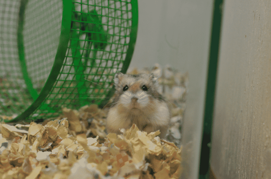 dwarf hamster care and housing