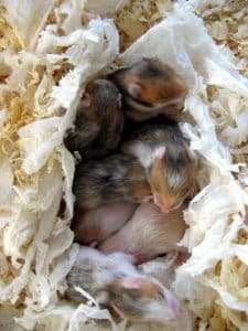 do hamsters eat their babies