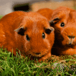 Getting a guinea pig