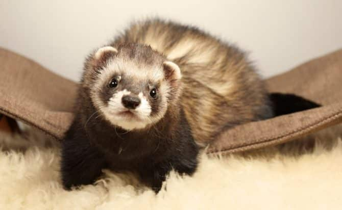 Ferret Care Guide