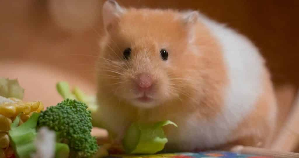 Can Hamsters Eat Broccoli?