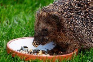 what do hedgehogs eat as pets