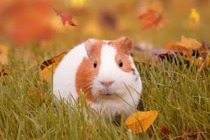 how often should you bathe a guinea pig