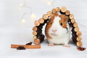 what do guinea pigs like to do for fun