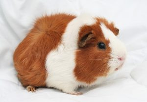 how to pick a friendly guinea pig