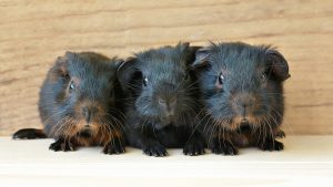 guinea pig breeding cycle