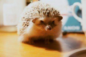 real facts about hedgehogs