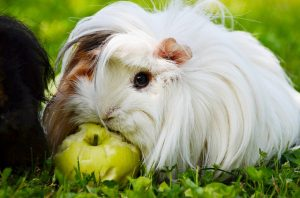 what can guinea pigs chew on