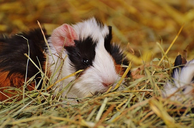 guinea pig health issues