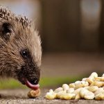 Can You Have A Hedgehog As A Pet In California