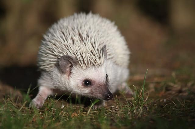 how many babies can a hedgehog have