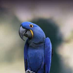 how much does a hyacinth macaw cost