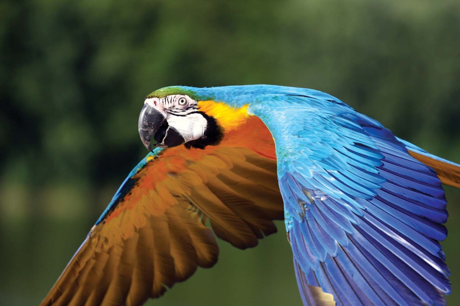 blue and gold macaw life span