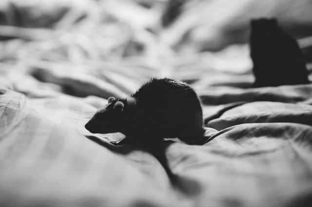 mouse in my room is it safe to sleep