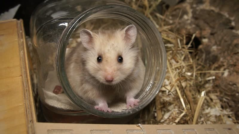 Can Hamsters Make You Sick