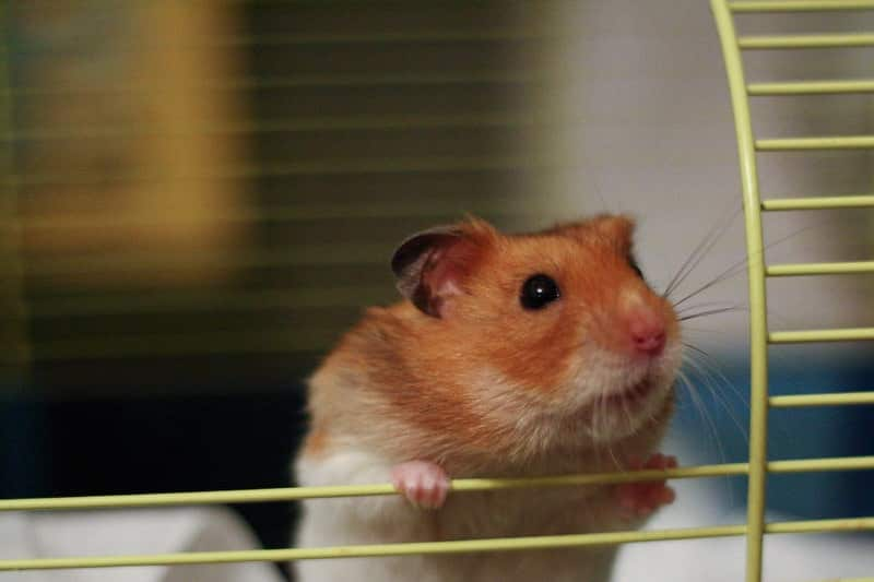 how much will a hamster cost?