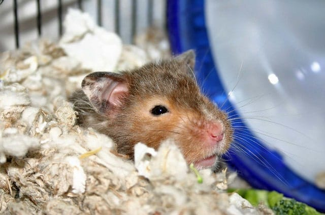 How often to clean your hamster cage