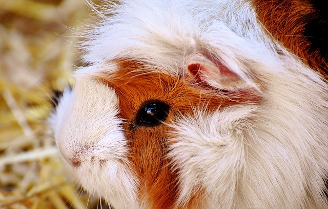 Does guinea pig need vaccination