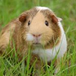 What fruit and veg can a guinea pig eat