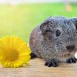 What Are Guinea Pig Babies Called