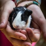 What does it mean when a guinea pig licks you
