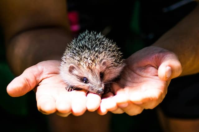 How hard is it to take care of a hedgehog