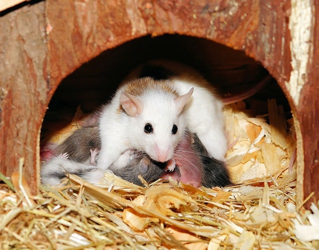 will a mother mouse come back for babies