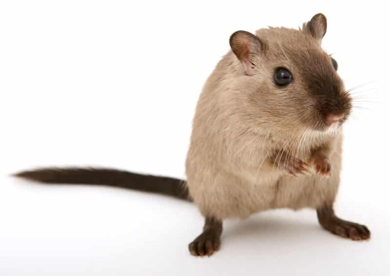 How Fast Can Rats Run Mph