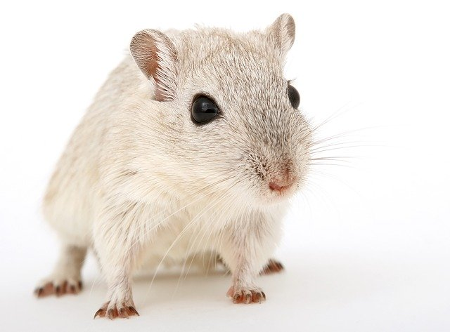 how much is a pet rat