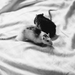 does mice eat clothes