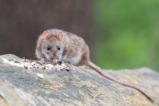 how long can a rat live without food