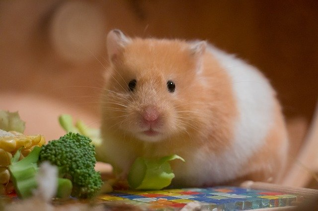 can a guinea pig eat hamster food
