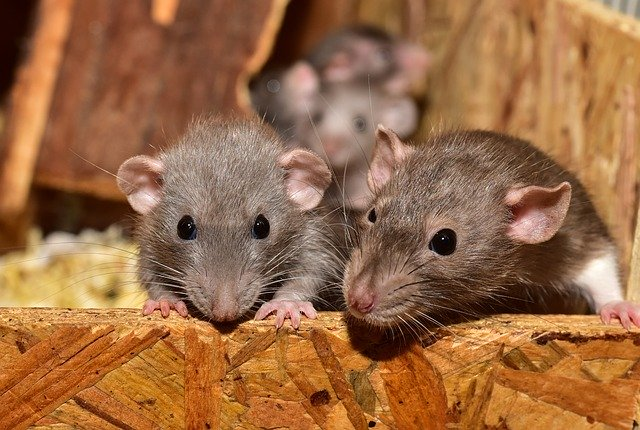 Do High Pitched Sounds Keep Mice Away