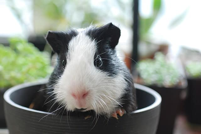 guinea pig drinking a lot of water